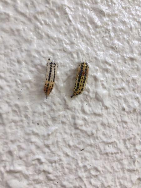 壁にいたんですけど、これはなんていう虫ですか?