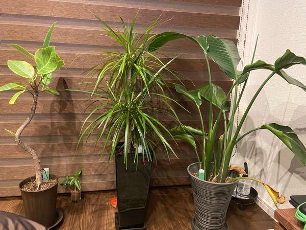 この観葉植物の名前を教えてください。 忘れてしまいまして… 猫を飼うので、猫に危険な観葉植物か調べたいので、よろしくお願いします。