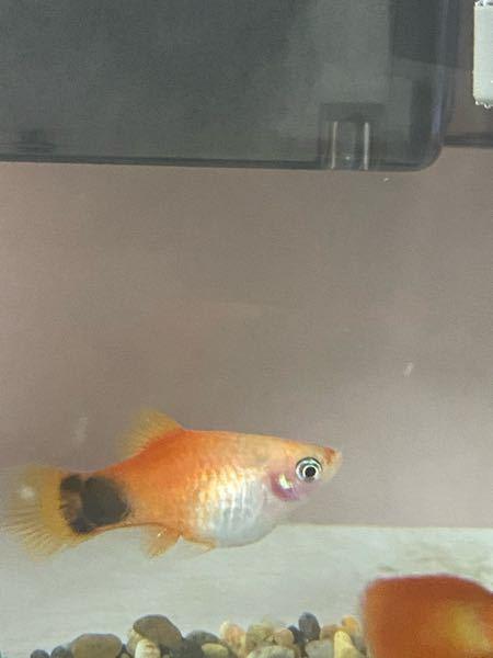 このプラティは妊娠中ですか? お腹の大きな魚なのでしょうか? 家に迎え入れた時より お腹大きくなってる気がするので 太っただけなのか…? わかる方お願いします!