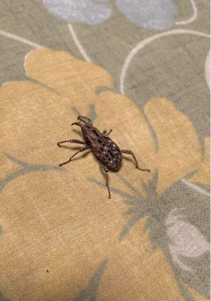 ⚠️注意 虫の画像があります 深夜自宅で以下の写真のような見たことのない虫を見かけました。 大きさは3センチ程で、脚は6本、頭の先に角?触覚?のようなものが1本ありました。 この虫はどのようなものか知りたいで す。ご存知の方がいらっしゃいましたら、教えていただきたいです。
