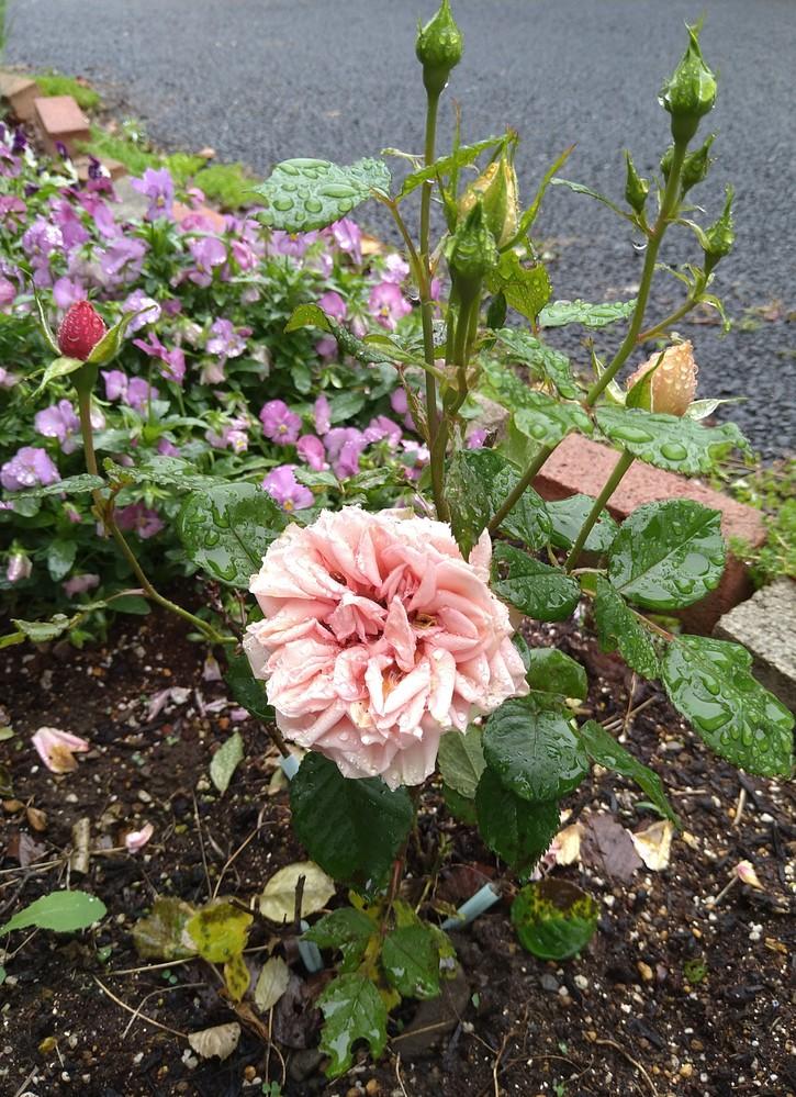 バラが新種なのか質問です。 3年程前から「美女と野獣」にでてくるような 赤いバラを購入して植えたのですが 去年あたりからオレンジ色のバラになり 今年は色と花びらの枚数が違うバラに なってしまいました。 同じ枝?根本は分かれてるので違う株?には最初と同様の赤いバラが一本だけ もうすぐ咲きそうです。 購入した際のバラの名前は忘れてしまいましたが、 そういうバラなのか新種なのか気になってしまい… もしわかる方いらっしゃいましたら教えて頂きたいです。 よろしくお願いいたします。