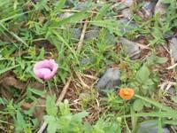 右はヒナゲシのようですが左の紫もケシの一種ですか?