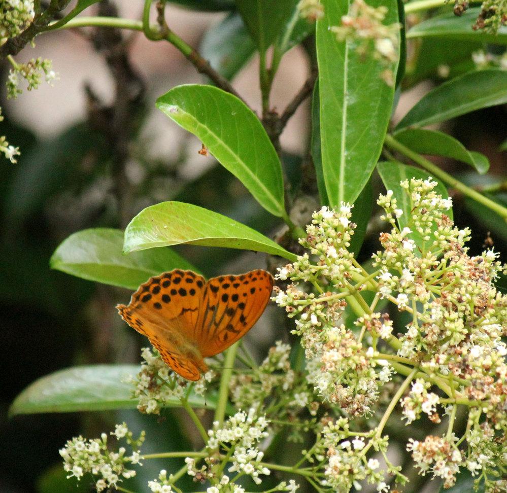 昨年6月、北九州市の郊外で、茶色のチョウがいたので持っていたカメラで撮りました。 その後、ずっとそのままになっていたのですが、昨日古い写真を整理していたら見つかりました。このチョウはネットで調べるとヒョウモンチョウだと分かりましたが、何の花に来ているのかを知りたくなり、投稿しました。花の名前を教えて下さい
