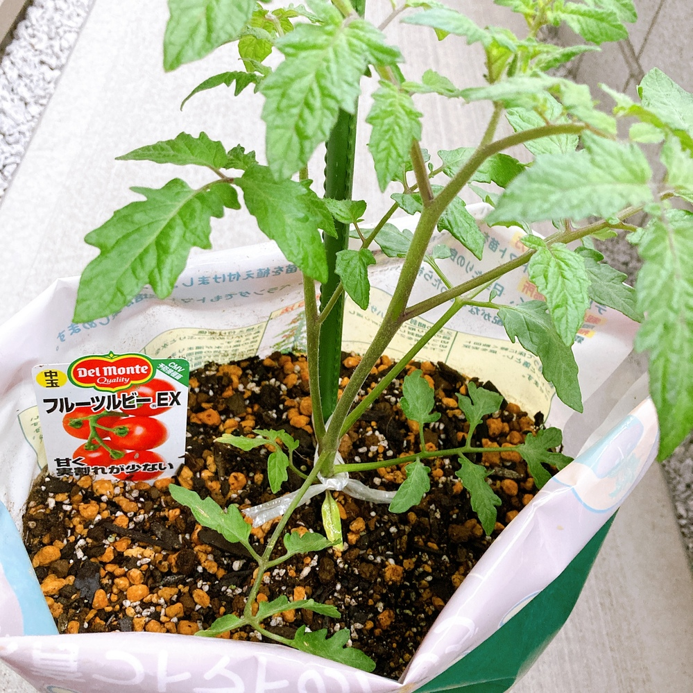トマトの家庭栽培に初挑戦しています。 一本仕立てにする為、わき芽を摘みたいのですが、茎と葉っぱとの区別が難しいです。 この中にわき芽はありますか? 同じような太さの茎が2本ありますが、一本仕立ての場合どちらかを切ることになりますか? その場合どちらの茎が主となるのでしょうか。個人的には手前側の少し右に傾いているのが主となる茎かなと思っています。。 ちなみにこちらは数日前に購入した苗で、元からこの太い茎が2本ありました。 正しく一本仕立てにできているのでしょうか。。 よろしくお願い致します。