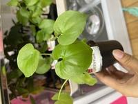 このダイソーの観葉植物の名前わかる方いますか? 名前はアソートとしか記載されていません。