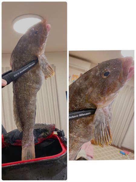 先程釣れたのですが、なんの魚でしょうか? 友人はホッケかアイナメではというのですが、どうでしょうか?