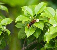 スズメバチの種類の判別をお願いします。 本日昼過ぎにキイロスズメバチと思われるハチが庭に来ておりました。 本日夕方になると写真のハチが来ておりました。 羽の付け根が黒いので昼のキイロスズメバチとはまた別の種類が来たと考えられるのですが…この子は何スズメバチでしょう?  付け根が真っ黒っぽいからコガタスズメバチ…?  木はソヨゴです。
