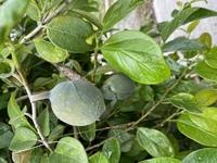 木(実付き)の名前を教えて下さい。 低木っぽい。鶏卵より大き目はの実?が 沢山なっています。 九州平野部です。お願い致します。