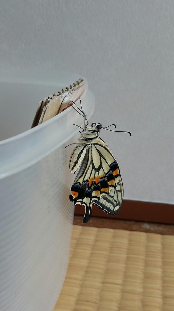 1個のアゲハ蝶の卵を見つけ 室内で育てて来ました。 昨日無事に蛹から綺麗なアゲハ蝶に なり梅雨の季節ですが 雨が止んだ時に屋外へ放してあげました。 しかし今朝から激しい雨が続いてます。 自然界では当り前の試練でしょうが あの蝶の事が心配です…… 無事にパートナー見つけてくれるかなァ