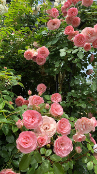 こちらのバラの品種がわかる方いらっしゃいましたら教えてもらえないでしょうか。 横浜イングリッシュガーデンで見つけて、購入したいと思っているのですが花の名前がわかりません>_< アーチに誘引されていた中輪のつるバラっぽい感じで、ピンク(コーラルピンクっぽい?)で先進むにつれて白っぽくなるようです!! お花5つぐらいが房咲になっているものになります!! どうぞよろしくお願いいたします