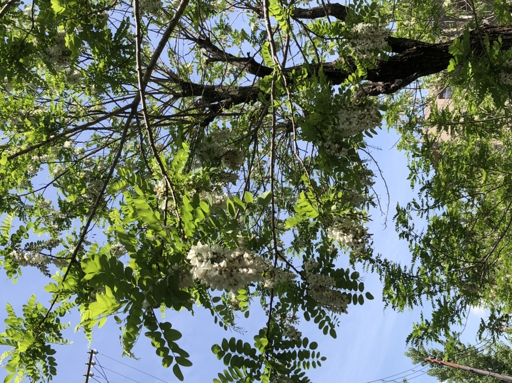 GWくらいに家の近くの木が一斉に花を咲かせたのですが名前が分かりません。この木は何という木か分かる方いますでしょうか。