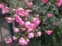 バラの品種がわかる方、教えてください。 ピンク色、カップ咲きのつるバラです。2m以上の樹高です。 自分で調べてみたところ「ポンポネッラ」かな?とは思いましたが、確信が持てず・・。よろしくお願いいたします。
