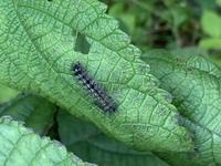 この毛虫はなんでしょうか? カラムシ(ヤブマオ?)に付いていました。