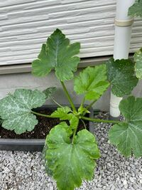 ズッキーニを育てています。 葉っぱがどんどん大きくなっていて これはそのままでいいのでしょうか??  それとうどんこ病でしょうか? このままだと育たないですか??