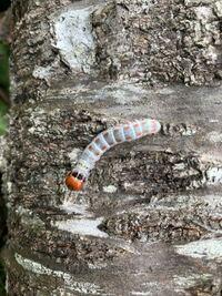 毛虫か芋虫かわからないですけど、名前わかる方居たら教えてください。