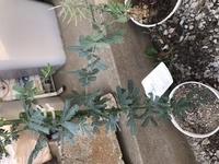 ミモザの鉢植えを買ってきましたが、 枝の一つがすごく横に伸びはじめてます。 これは切った方がいいのか、 どうしたらいいのかわかりません。 どなたかアドバイスお願いします。 ミモザアカシアです。 写真がどうしても横になってしまって わかりづらくてすみません。