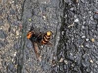 スズメバチでしょうか。2日ほどこの場所で横たわり、お尻だけがずっとピクピク動いてます。 最初は死んでるのかと思いましたが、お尻は動いているので、突然飛び立ったりしたら怖いです。 こんなに長く生き続けるものでしょうか
