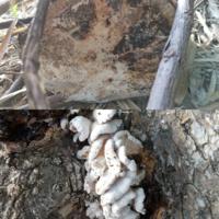 何のキノコ(菌)かわかりますか? 伐採した柿の木の幹に、白いキノコが生えていました。幹の断面にも白っぽいものが生えていました。 わかる方お願いします。  ・伐採日…2~3ヶ月くらい前 ・撮影日…1週間くらい前 ・撮影場所…宮崎