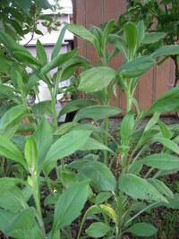 植物に詳しい方に質問させていただきます。 分かりにくい写真で申し訳ないのですが、 こちらの植物は何という植物の名前でしょうか? 葉を触ると、モサモサしています、 まるで毛のような感触でしょうか。 このくらいの特徴しかなくて申し訳ないです。 よろしくお願いいたします。