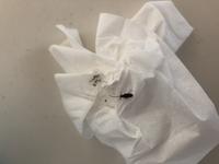 これはゴキブリの赤ちゃんでしょうか? 1匹寝室で歩いていました。