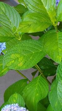 紫陽花の葉っぱに画像のような色が変わってしまっていて。花はきれいに咲いてますが、葉っぱがこのような状態です。 なんの病気かいまいち調べてもわからなくて、、対処方のアドバイスよろしくおねがいします。