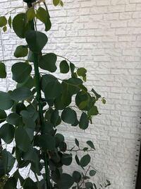 ポポラスの鉢植えで育てているのですが、上部の新芽だけがお水をあげてもくたっとなってしまいます。 新芽まで水が届いてない気がするのですが、あまり水をやりすぎて根腐れするのも心配です。 頭頂部を切り戻しすればよいのでしょうか。 150cm位の高さです。