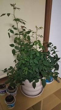 バラのお手入れ  以前にも質問させて頂いた者です。 ガーデニングに詳しい方教えて下さい。 ミニバラのポットを以前一回り大きな鉢植えに鉢増ししました。 4、5月たくさんの花を咲かせてくれ、現在は蕾は減ってきましたが葉っぱがぐんぐん伸びて写真のような状況です。 これは剪定した方がいいのでしょうか? 剪定するとしたらどこを切ったらいいのでしょうか? それともそのままでいいのでしょうか? 葉っぱが込...