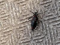 マンションのベランダに居ました。 1cm位のゲジゲジした虫でかなり気持ち悪いです。 これ何の虫か分かりますか? 害はありますか? ゴキブリではないかと思いますが害虫駆除とかした方が良いでしょうか?