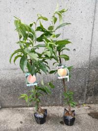 見切り品の桃の苗を買いました。鉢植えで育てようと思っています。 桃を育てるのは初めてなので育て方を調べていたら植え付け時に切り戻したほうがいいとありました。切ろうかと思ったのですが、売れ残りなので上のほうで枝が伸びています。  切り戻したほうがいいのか、切らずにそのまま枝を伸ばしたほうがいいのかわからなくなってしまったのでどうしたらいいのか教えていただきたいです。