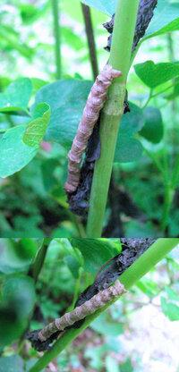 見た目がいささか気持ち悪いですが、 春の山にいた何か?の幼虫です。 蛾か蝶の幼虫っぽいのですが、何の幼虫でしょうか??