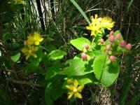 雑草の中に混じって咲いていた黄色い花です、葉っぱは楕円形葉先は尖っています 草丈30cmぐらいかな?名前が判りません。教えてください。