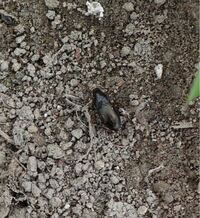 この昆虫の種名を教えてください。 ゴミムシの仲間でしょうか?