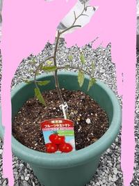 苗を買った際におまけで枯れかけの中玉トマトの苗をもらいました。 復活の方法が知りたいです。 今は培養土に植え付けて3日程です。 レッドオーレ、接木苗です。