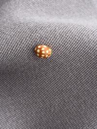 これは、てんとう虫ですか?