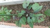 ナス、ピーマンの葉っぱの虫食い?について。  家庭菜園で、庭の一角に50cm✕200cmの囲いをし、ナス、ピーマンなど4株を植えています。 ピーマンは、虫食い発見後、アオムシ2~3匹を見つけて駆除し、「フマ◯ラーの、食品成分で作った【虫、病気用】」の薬をスプレーしました。 その後はアオムシは見かけておらず、これ以上のピーマンの虫食いはストップしたと思います。  しかし、上記ピーマンと同じ対処...