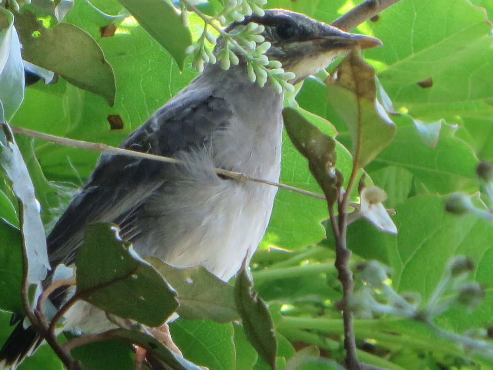 最近家の庭木に来ます。この鳥の名は何でしょうか?図鑑「山野の鳥」で調べましたがよくわかりません。鳥に詳しい方ご教示願います。