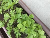イタリアンパセリをプランター栽培しているのですが、葉に白い斑点みたいなのが出てきてしまいました。 何かの病気なのでしょうか。 日当たりの良い場所に置いて水やりは毎日しています。