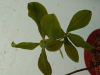 この植物は何でしょうか?  先日サボテンを買ったら隣に小さい芽があったので、別で育てたら大きくなりました。 根本が太くなってきており木になりそうです  もしわかる方いらっしゃいましたら教えていただきたいです。 よろしくおねがいします