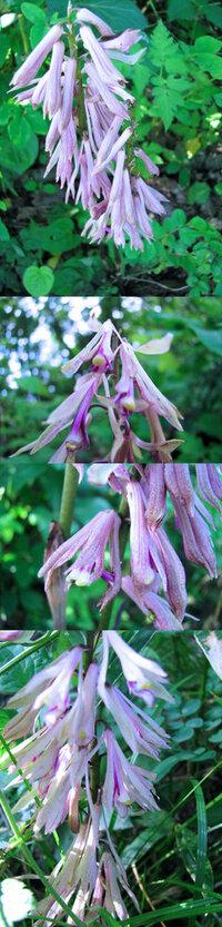 5月の標高300m~400mくらいの低山の、他の植物などの日影で、 やや下向き?のたくさんの薄紫の花を咲かせていた植物です。 何という名前の植物でしょうか??