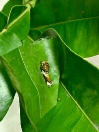 この幼虫は何の幼虫でしょうか? みかんの木にいたのでアゲハチョウと思って育てているのですが今まで育てた子と色味が違う気がして… どなたか教えて頂けると幸いです。