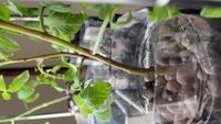 水耕栽培でミニトマトを育てているのですが、茎が茶色くなり縦に溝もできてしまいました。 サビダニかと思ったのですが、葉の裏は特にテカテカしていません。 これはなんの病気なのでしょうか…