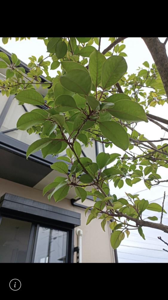 この木の名前を教えてください。よろしくお願いします。
