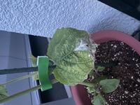 食用鬼灯(ほおずき)の苗を昨日購入して植木鉢に植え替えました。 一日経って見ると葉っぱが白くカビのようになってしまいました。 うどんこ病とは違うような。 わかる方教えて下さい。