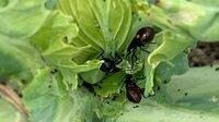 キャベツを食害しているアオムシ(モンシロチョウの幼虫)に、針のような口を刺して体液を吸うように捕食している虫を見つけたのですが、 何という名前の虫でしょうか  背中にオレンジ色の丸い点が二つある黒っぽい甲虫?で、複数匹で一匹のアオムシにたかっています  よろしくお願いいたします