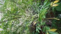 シマトネリコを鉢植えして10年くらいです。 大きさも、背丈を超えております。  写真は、花でしょうか? 新芽とは、違う状態なんです。  ご教授のほど、お願いします。