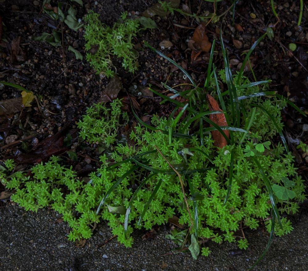 この植物の名前を教えてもらえませんか? 今日雨の中、団地の駐輪場で見かけたのですが、あまりにも鮮やかな緑だったので携帯で写真を撮りました。