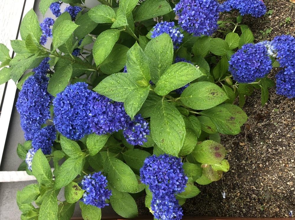 紫陽花の変色について 写真左下の方、葉が変色してしまいました 処置方法を教えてください 北側に地植え 鉢で買ってから2年目です。 変色は病気でしょうか、 病気ならどのくらい刈り取るべきなか、肥料など何が必要か詳しい方教えてください