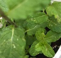 ミントの葉っぱが白っぽくなってしまいました。 最近買ってきて鉢に植え替えたのですが。。。 何か対処法を教えてください。