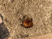 カブトムシの幼虫が、サナギになりました。  少し土の上に出ています。  ↓↓この状態は大丈夫なのでしょうか? 人工室へ移した方が良いのでしょうか?