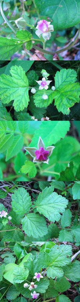5月の標高300m~400mくらいの低山の、 山道の脇にたくさんあった植物です。 ピンクの花らしきものに蜂がよく とまっていました。 何という名前の植物でしょうか??